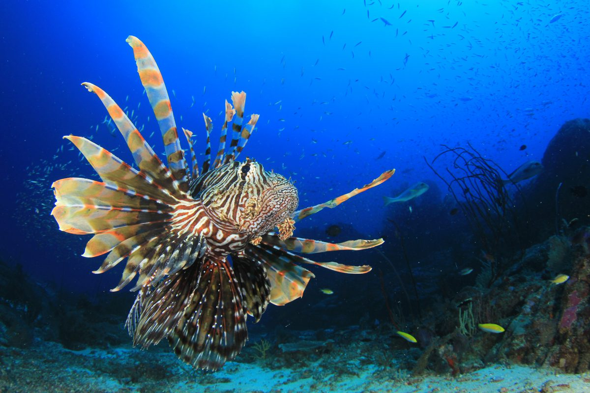 Lionfish around Anna Maria Island